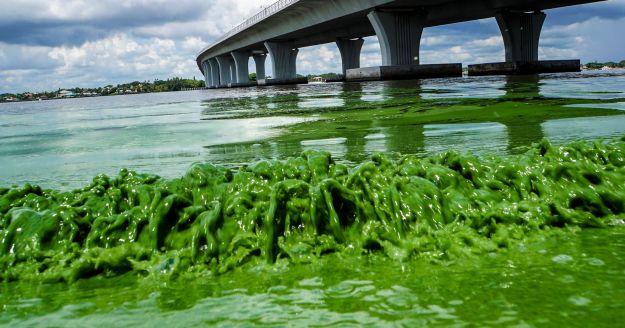 greenalgae2